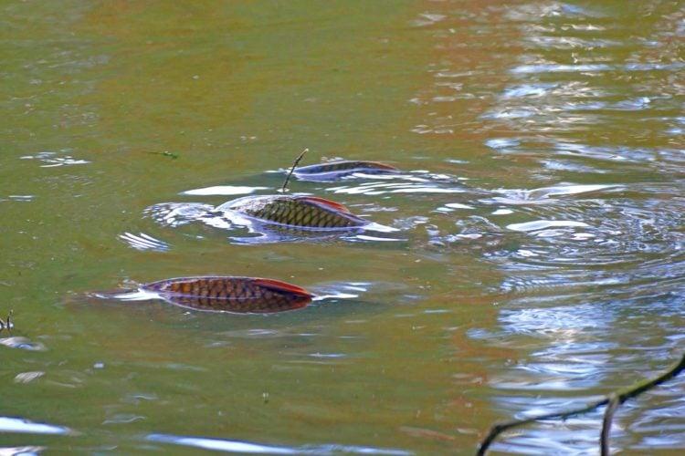 Karpfen dümpeln in einer Pfütze eines Naab-Altwassers. Foto: E. Hartwich