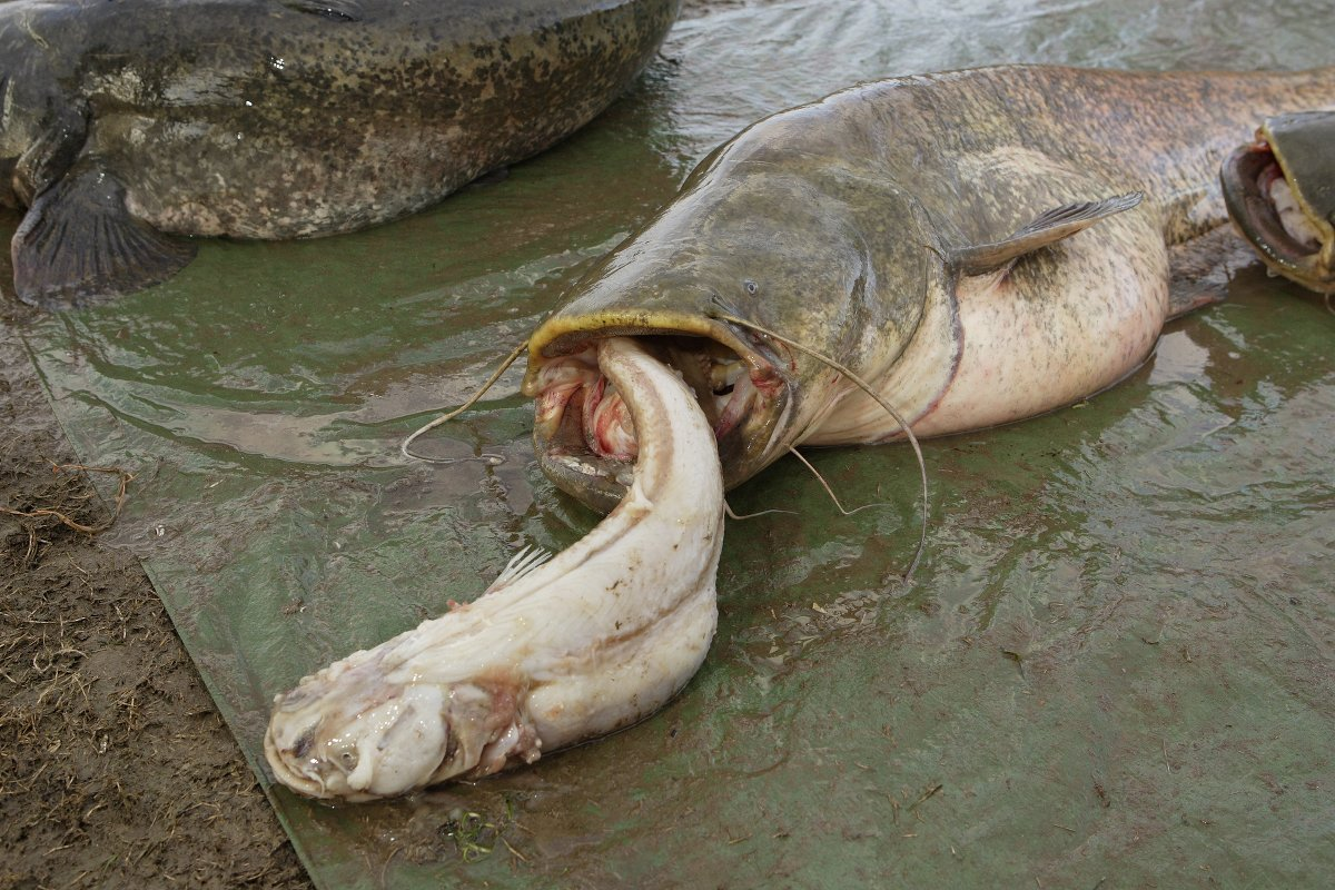 Nach Sichtungen des Köders, den der Verursacher in die Netze der Fischer gespuckt hat, vermuten die Fischer ein kleineren Wels, als bisher angenommen. (Beispielfoto) Foto: AW/Schlichting