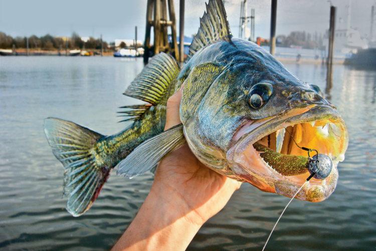Eine Novellierung des Fischereigesetz in Hamburg würde vor allem den Zandern zu Gute kommen. Foto: AW