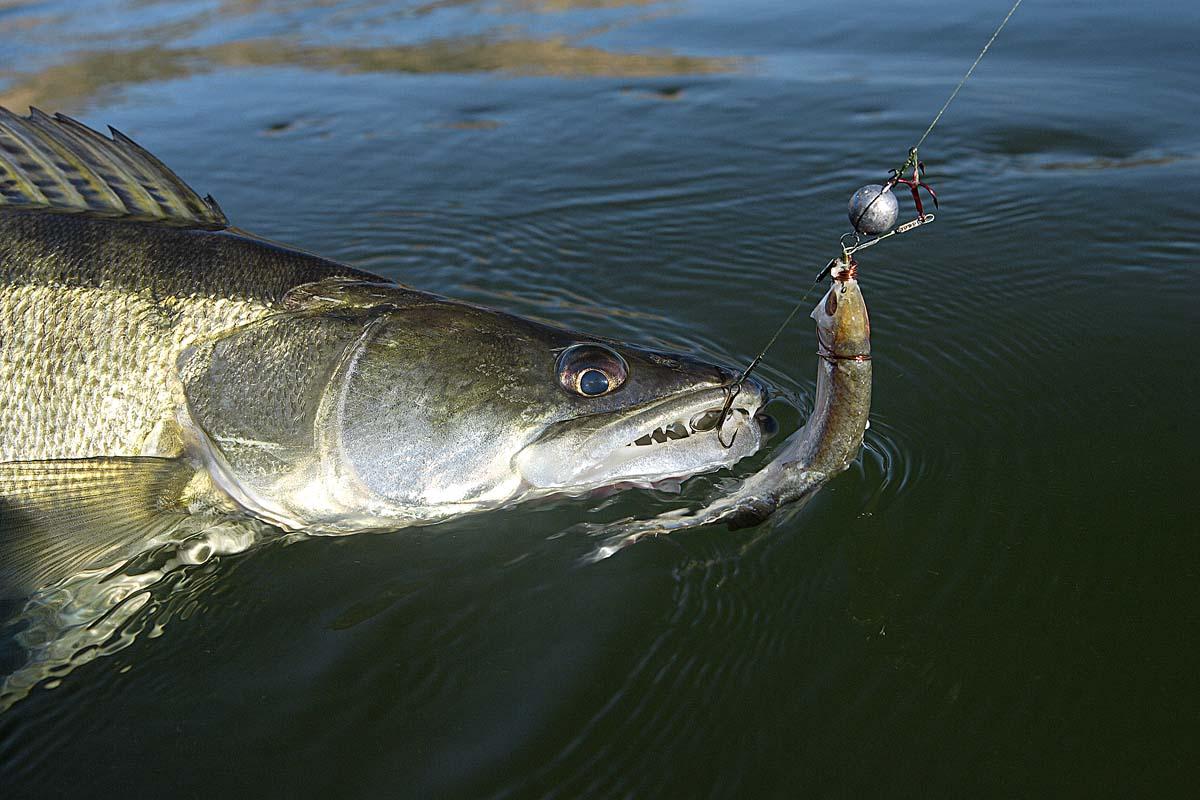 Je nachdem wie die Raubfisch drauf sind, kann beim Drachkovitch-System das Bleigewicht kinderleicht wechseln und sich so an die gegebenen Bedingungen anpassen. Foto: O. Portrat
