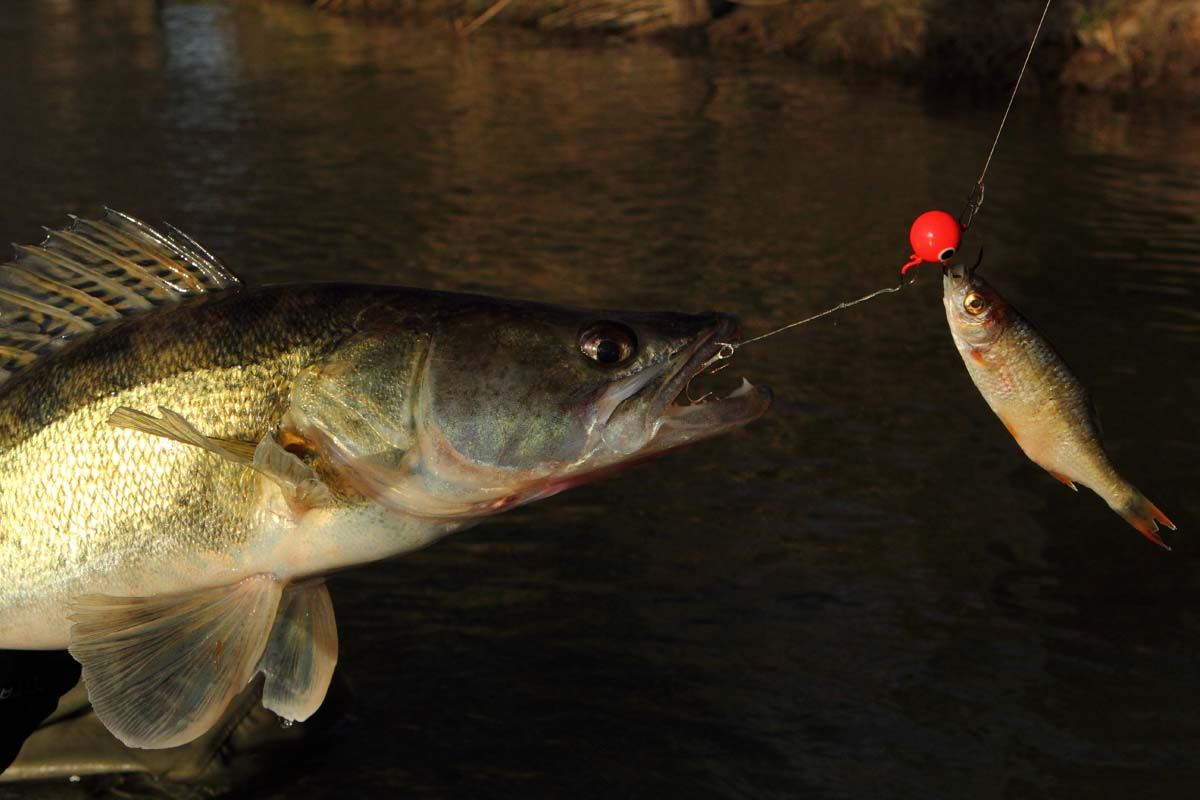 Auch beim aktiven Köderfischangeln kann ein Stinger auch vorsichtige Fische an den Haken bringen. Foto: BLINKER/O. Portrat