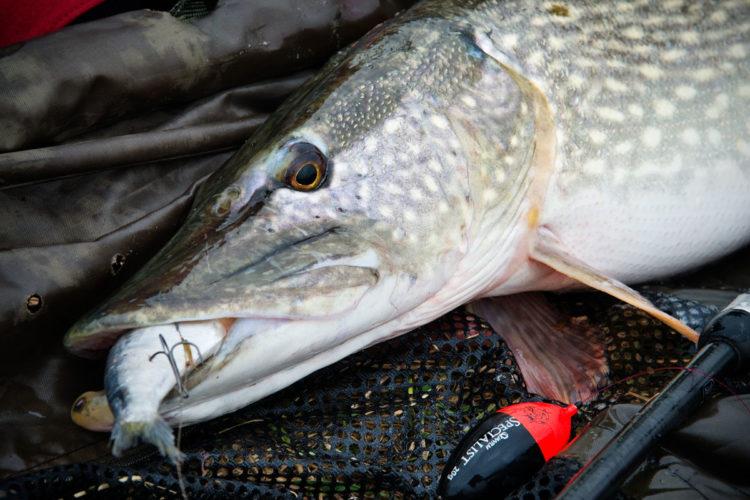 Bei den toten Köderfischen zum Angeln auf Hecht hat der Angler die Qual der Wahl: Welchen Köderfisch werden die Hechte bevorzugen? Foto: BLINKER/W. Krause