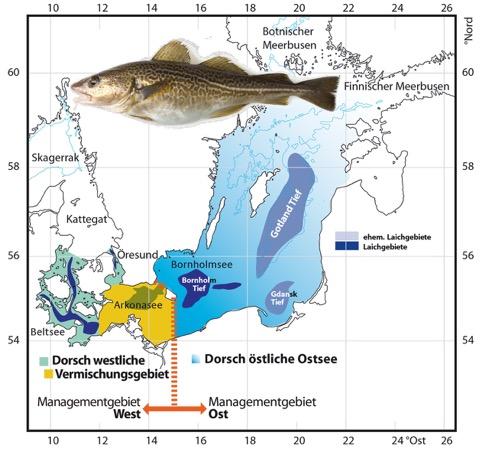 Meeregebiet 24 (SD24) hier vermischen sich der östliche und der westliche Dorschbestand.