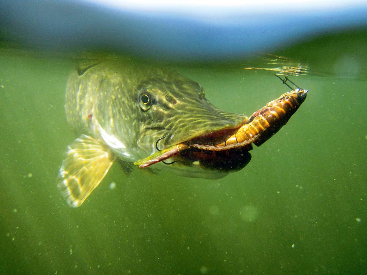 Dieser Hecht hat das Maul ziemlich voll genommen. Sein Pech: Die Beute war kein Fischchen, sondern ein mehrgliedriger Wobbler namens Swimbait. Foto: B. Rozemeijer