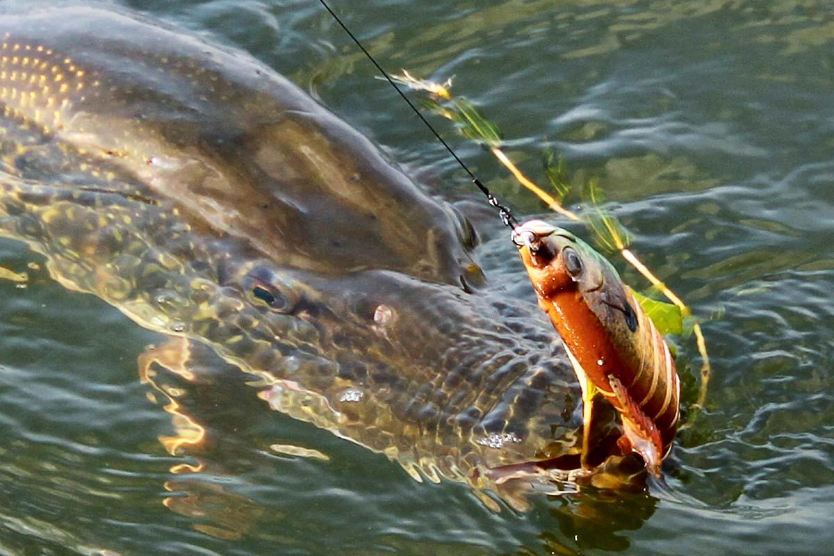 Moderne Swimbaits können Beutefische nahezu perfekt imitieren. Je mehr Glieder der Wobbler hat, desto natürlicher ist seine Schwimmbewegung. Foto: B. Rozemeijer