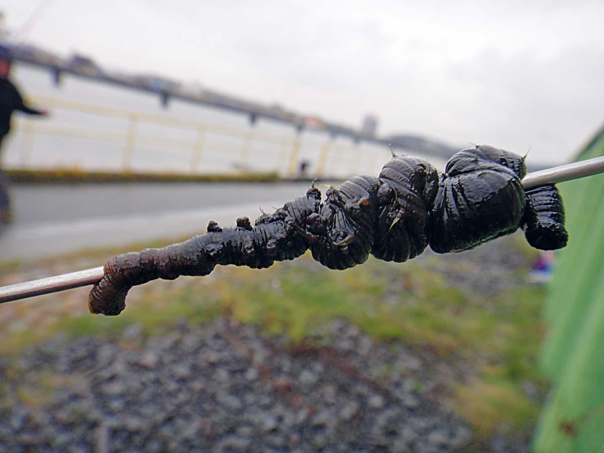 Zuerst wird der Wattwurm mit dem dicken Ende auf eine Ködernadel aufgezogen. Foto: F. Schlichting