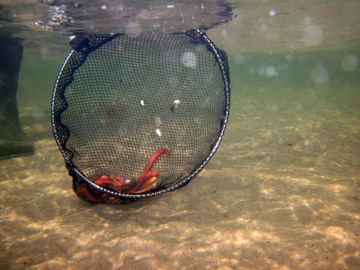 Um die Wattwürmer schnell und schonend einzusammeln, ist ein kleiner Kescher mit nicht zu feinen Maschen ein perfekter Helfer. Foto: S. Rose