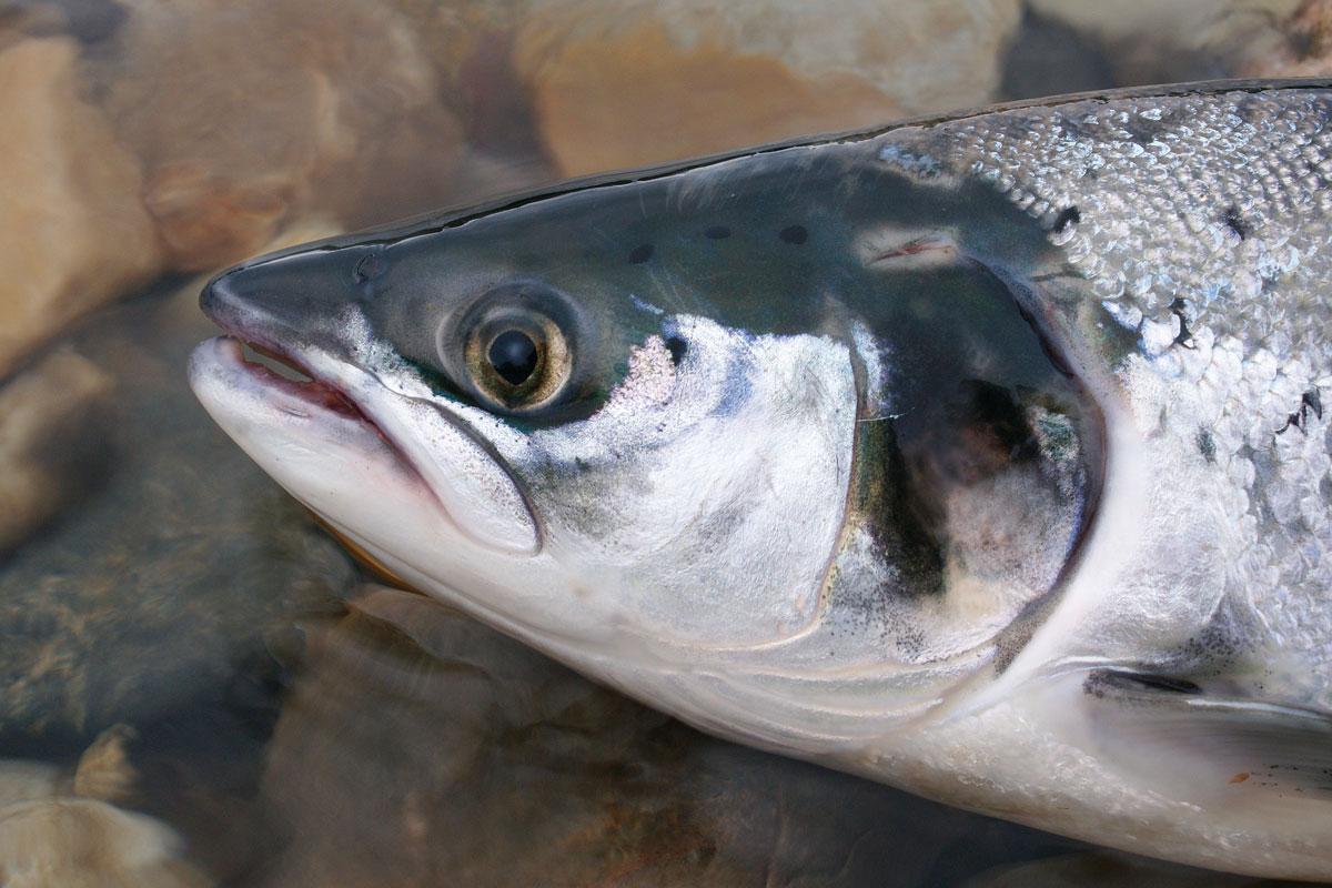 Der Fisch des Jahres 2019 ist ein beliebter Speisefisch, der auch bei Anglern hoch im Kurs steht. Foto: E.Hartwich