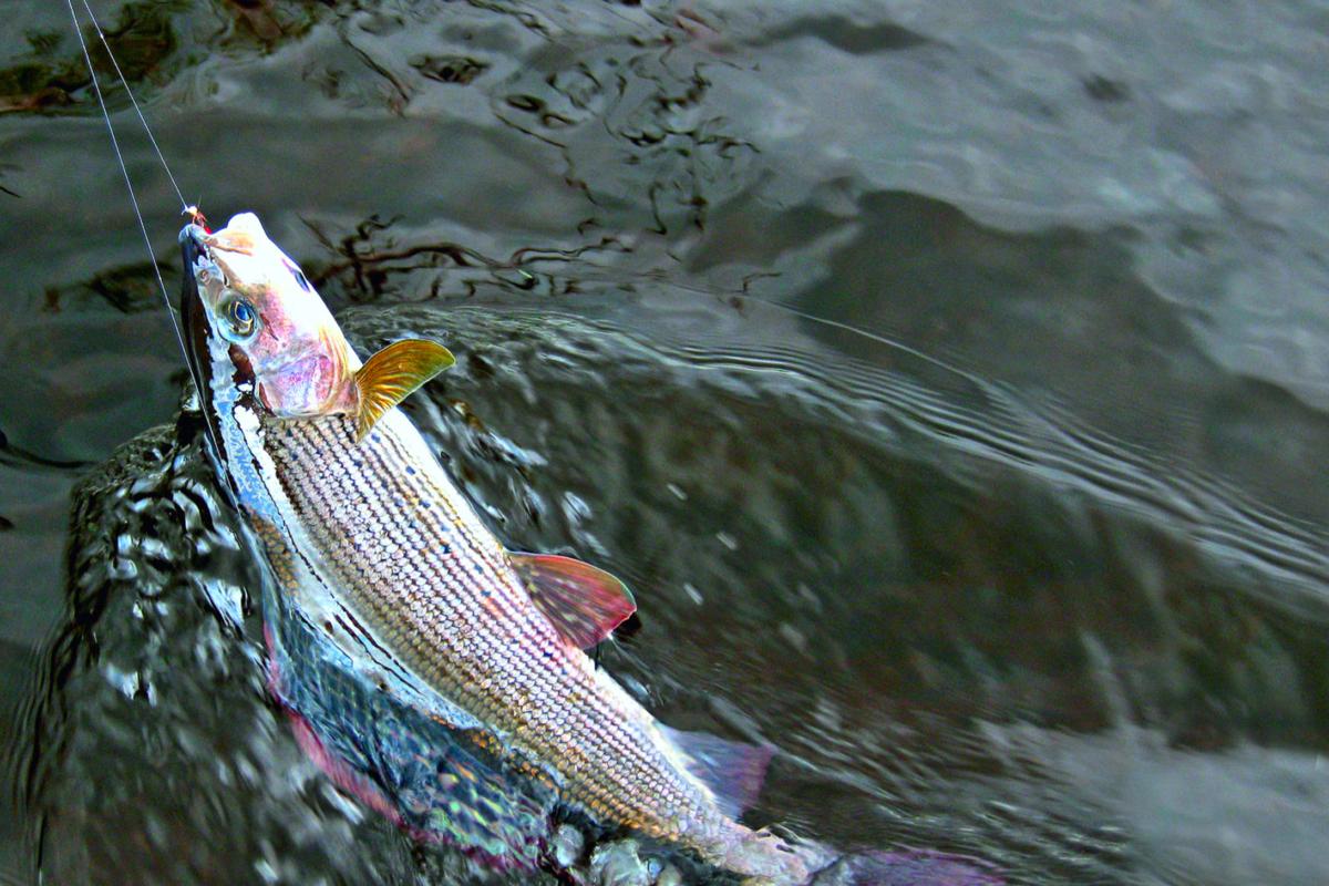 Das Fischen mit zwei Nymphen, hier nahm eine Äsche die obere, gehört ebenfalls zu den Möglichkeiten des French Nymphing. Foto: FliegenFischen