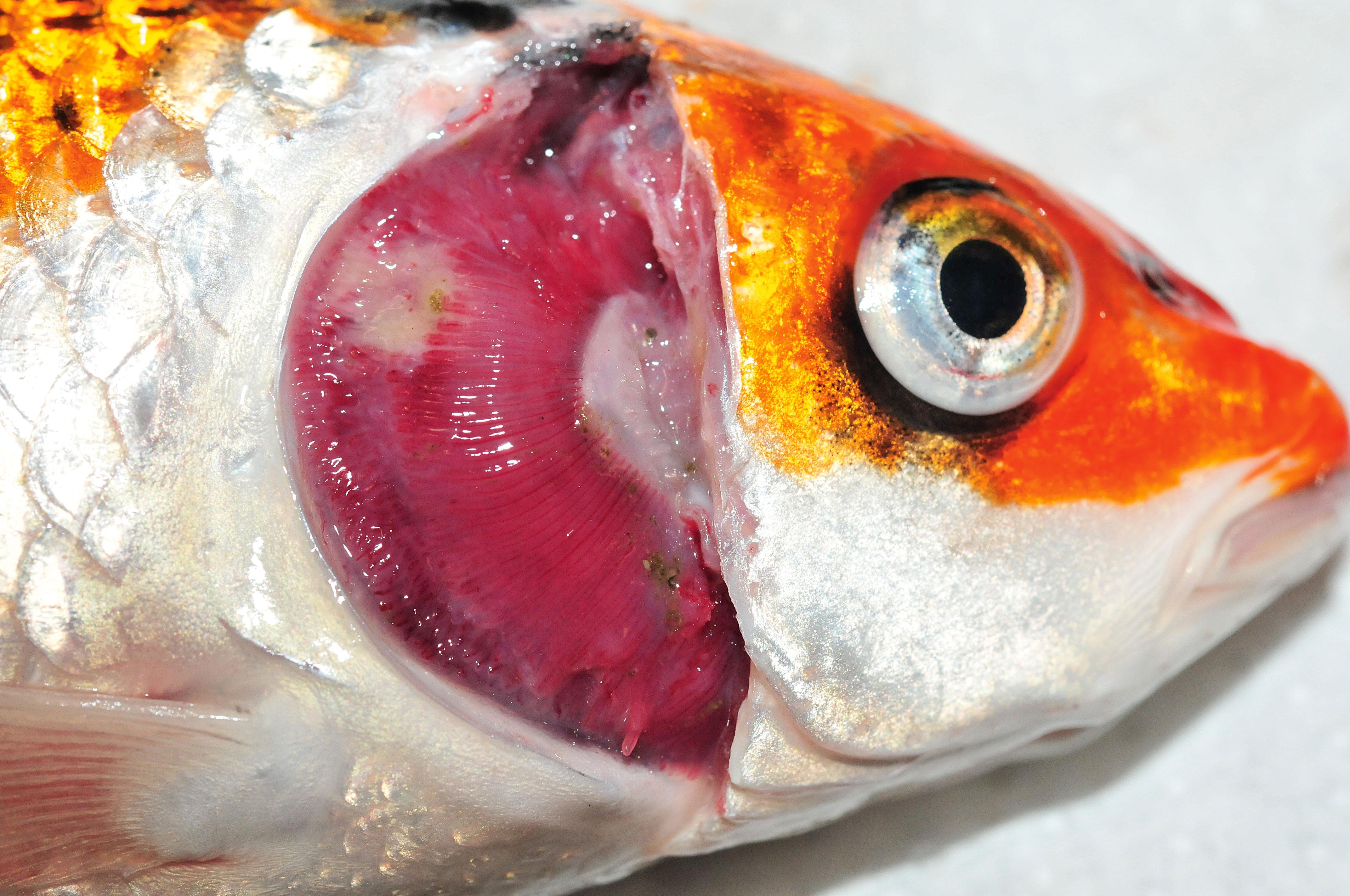 Koi-Herpes ist für die Fische in den meisten Fällen tödlich. Foto: Eva Lewisch/Vetmeduni Vienna
