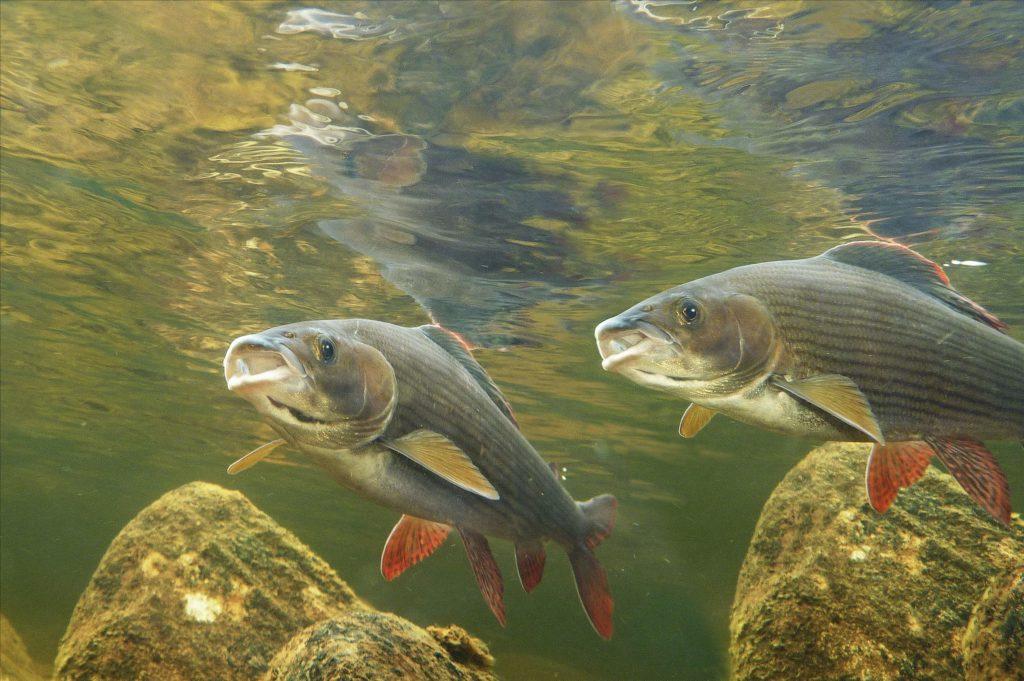 Ca. 7.400 Wasserkraftwerke haben die Flüsse in Deutschland verbaut und unseren Fischen die Wandermöglichkeiten zu ihren Laichplätzen versperrt. Naturschutzverbände rufen mit #ProtectWater gemeinsam dazu auf, den europäischen Gewässerschutz zu sichern. Foto: E. Hartwich