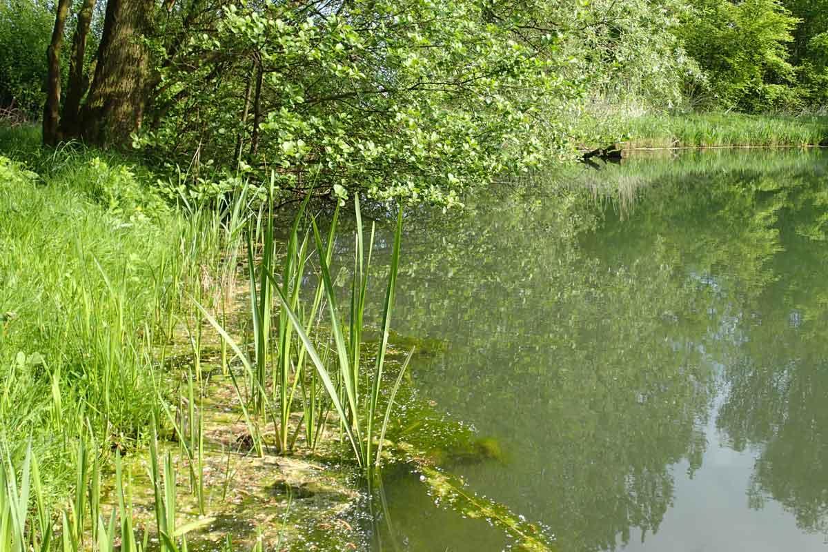 Pflanzenreste die vom Ufer ins Wasser fallen, können den Nährstoffgehalt des Wassers verändern und so, gerade in sehr kleinen Gewässern, zu einer Algenblüte führen. Foto: Archiv/N.Bremer