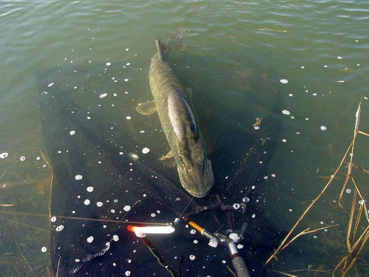 Köderfischangeln mit der Hechtpose bringt auch vorsichtige Großräuber sicher ins Netz. Foto: M. Brown