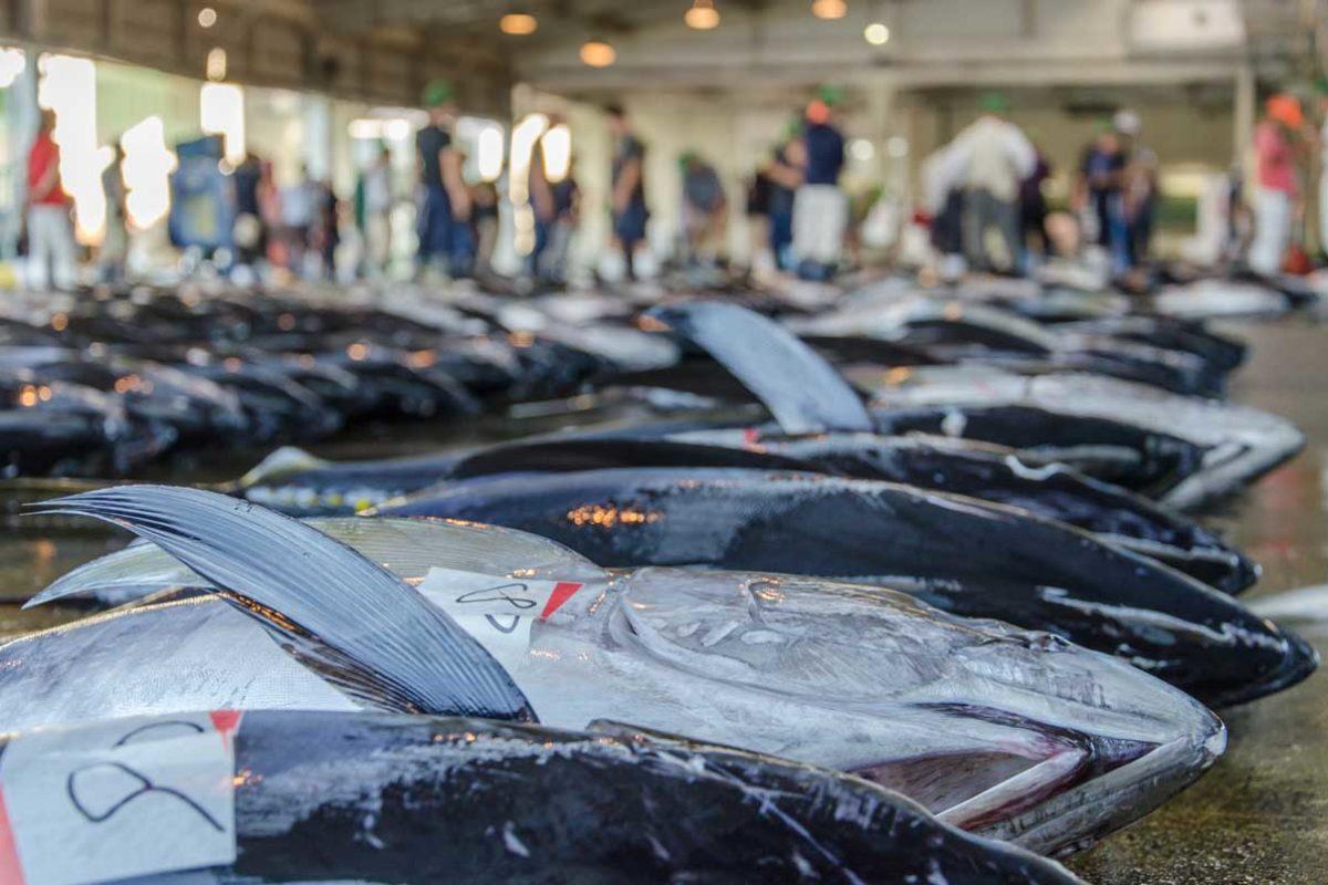 Ein japanischer Restaurantbesitzer zahlte auf dem berühmten Tsukiji-Fischmarkt von Tokyo die astronomische Summe 2,7 Millionen Euro für einen Blauflossenthunfisch. Etwa 80 Prozent der gesamten Fänge von Blauflossen-Thunfisch werden nach Japan exportiert.