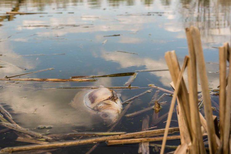 Durch das große Fischsterben bei Greetsiel verendeten Tonnen von Fischen.