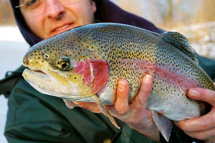 Beim Angeln in den Forellenseen in Hessen kann man immer mit solchen schönen Fischen rechnen. Foto: W. Krause