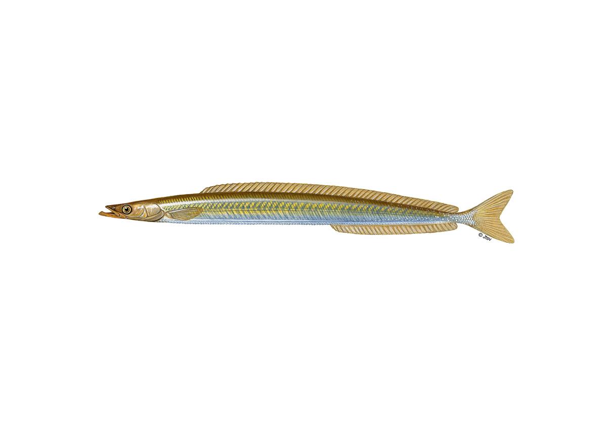 Tobiasfische werden auch als Sandaale bezeichnet. Sie werden zirka 15 Zentimeter lang. Ihr Rücken ist grünlich gefärbt, die Seiten schimmern silbrig. Grafik: J. Scholz