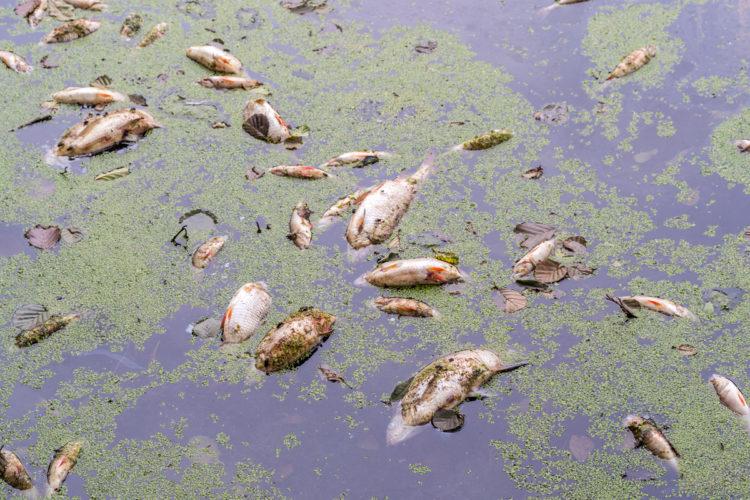 Ein großes Fischsterben in Wolgast beschäftigt momentan Behörden und Ämter.