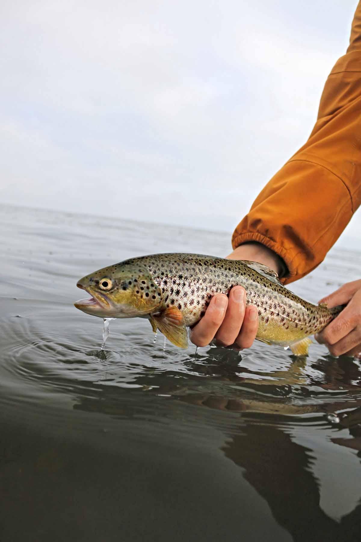 Zielfisch Nummer eins an Südjütlands Küste ist eindeutig die Meerforelle. Foto: Destination Sønderjylland