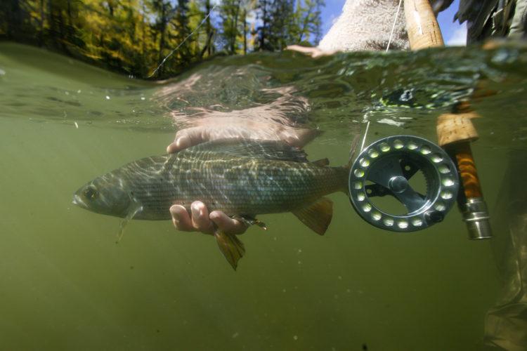 Beim Fliegenfischen in der Donau bei Ulm ist die Äsche der Hauptfisch.