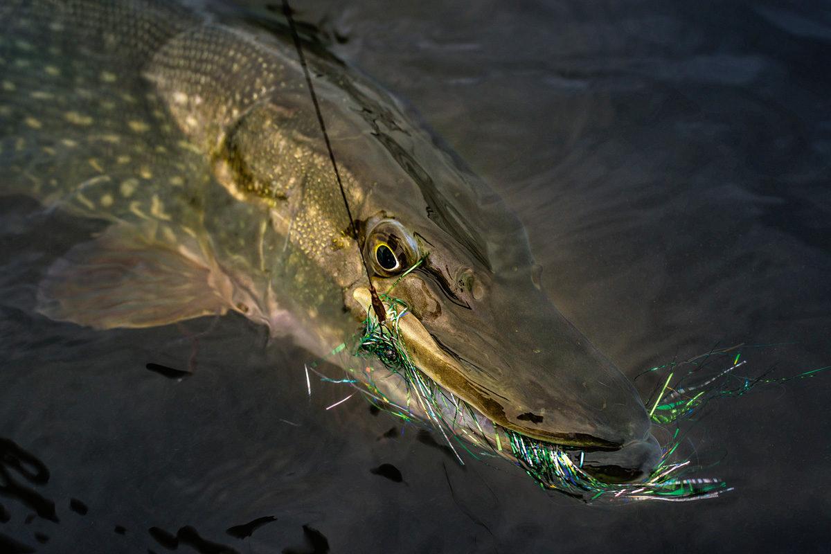 Fliegenfischen auf Hecht mit großen Streamer ist sehr spannend und vor allem effektiv! Foto:W. Krause