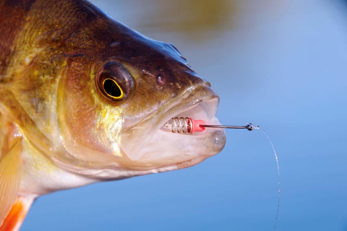 Irgendwann passiert es doch: Nach vielen Bissen und Fischen hat ein Barsch im Drill den Köder vom Gewinde abgeschüttelt. Genützt hat es ihm nichts....