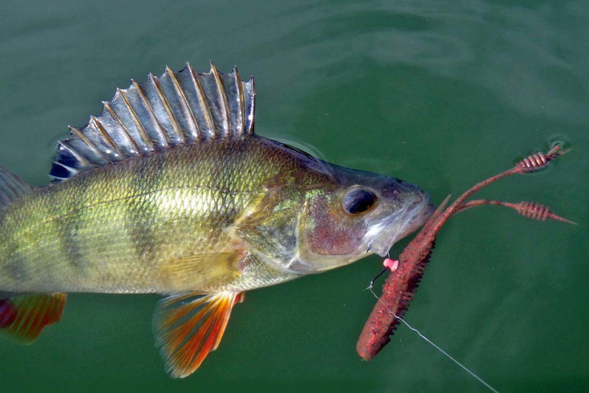 """Gute Barsche sind die häufigsten """"Opfer"""" des Neko-Rigs, wenn mit Gummikrebsen gefischt wird."""