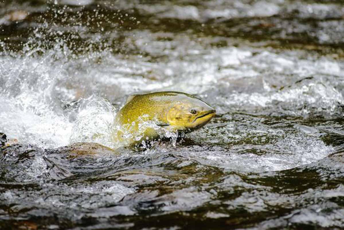 Eine Petition soll offene Netze in Fischfarmen verbieten und die wilden Lachse so vor dem Aussterben bewahren. Foto: Patagonia/ Eko Jones