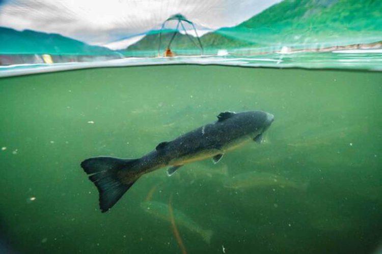 Der Film Artifishal zeigt die Gefahren, die Fischaufzuchtstationen und Fischzuchten für wild lebende Lachse bedeuten.