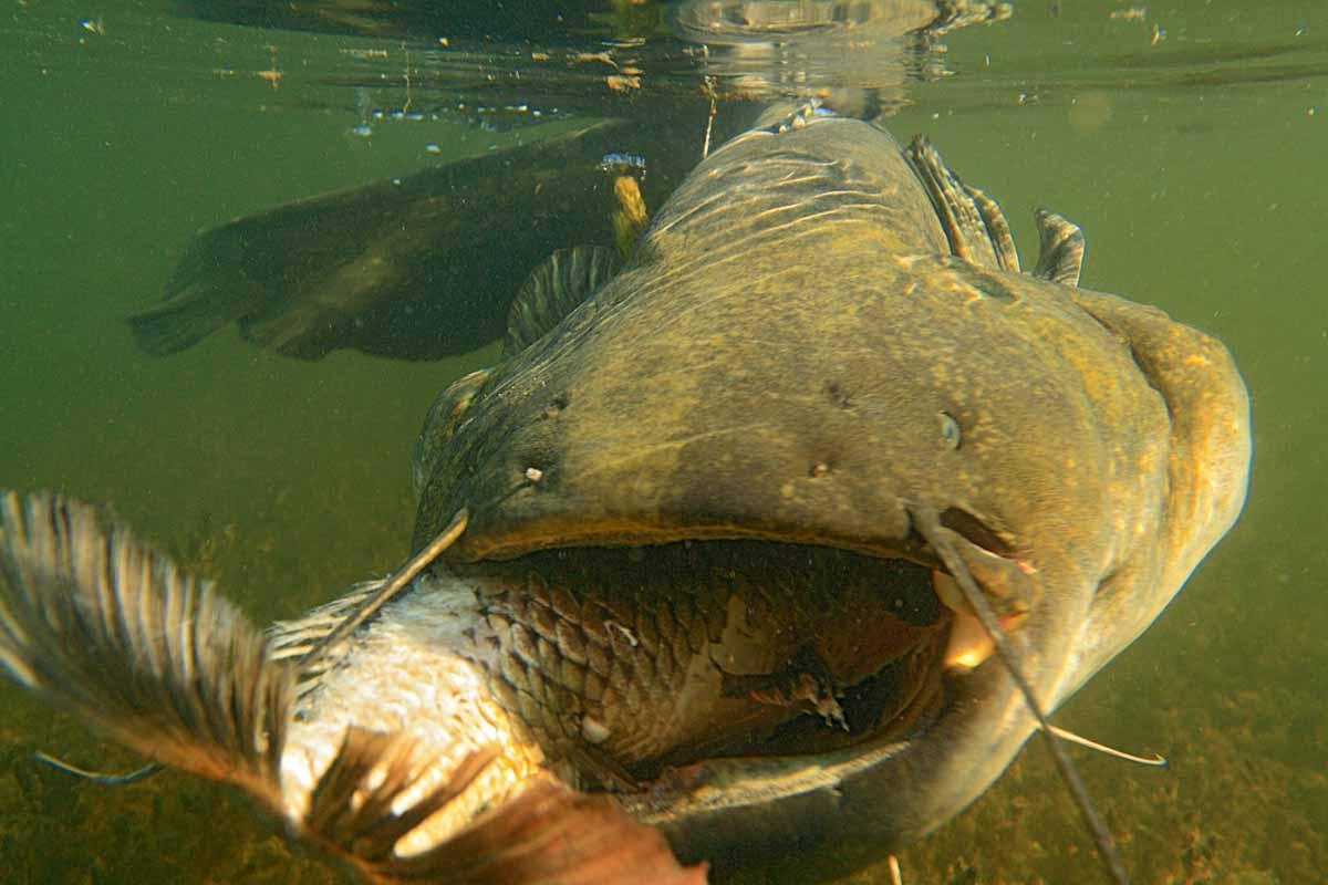 Große Köderfische sind ideale Welsköder! Foto: Blinker/O.Portrat