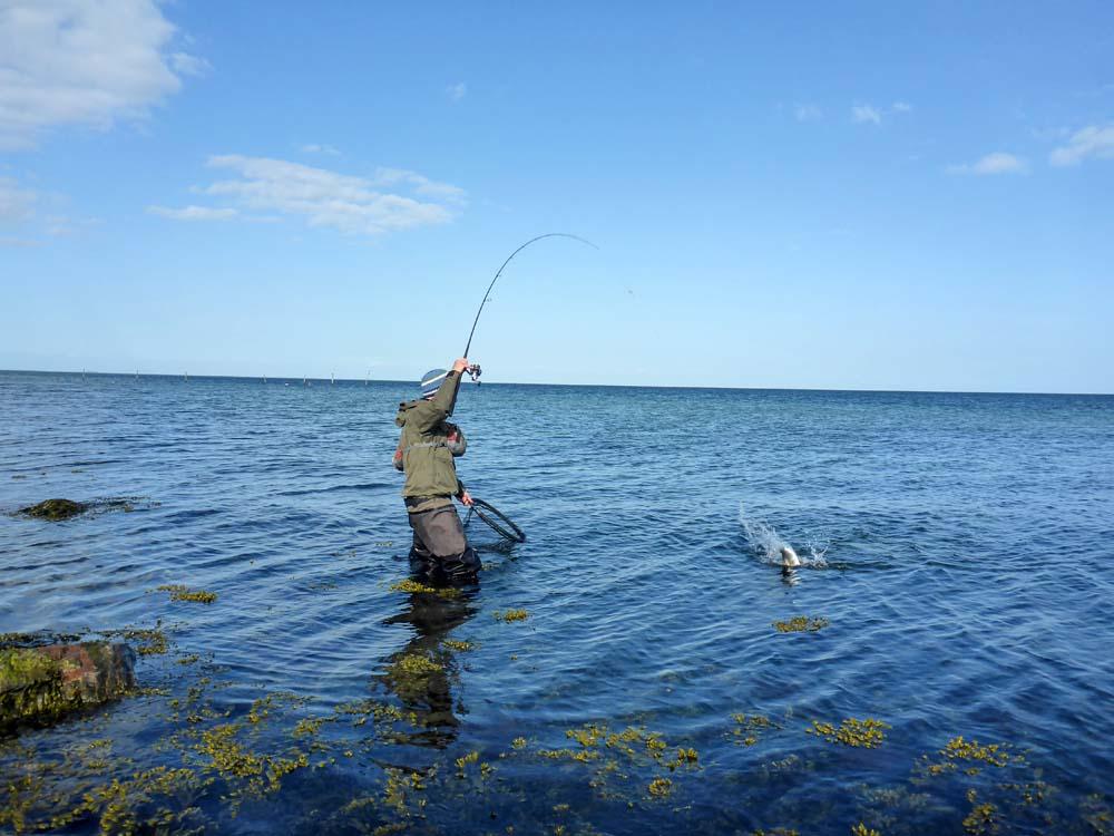 Begehrte Beute der Watangler. Mit Fliegen und Spinnködern lassen sich rund um die Insel tolle, blanke Meerforellen fangen.