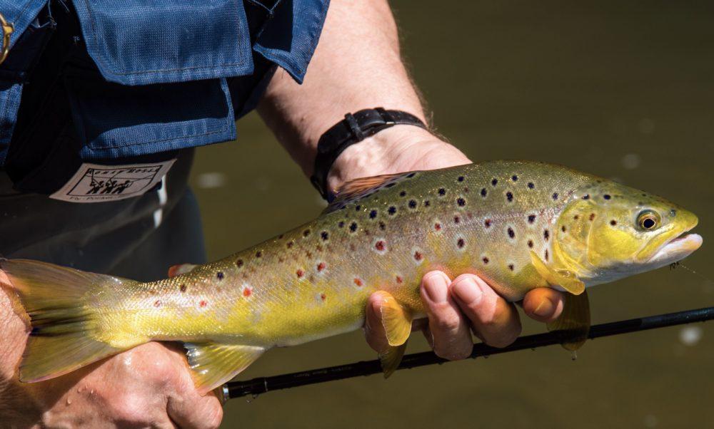 """Eine schöne Bachforelle! Kurze Würfe sind das Erfolgsrezept beim Fliegenfischen in solch schwierigen Gewässern. Die Fische stehen hier in den """"Taschen"""", also in Bereichen mit geringer Strömung."""