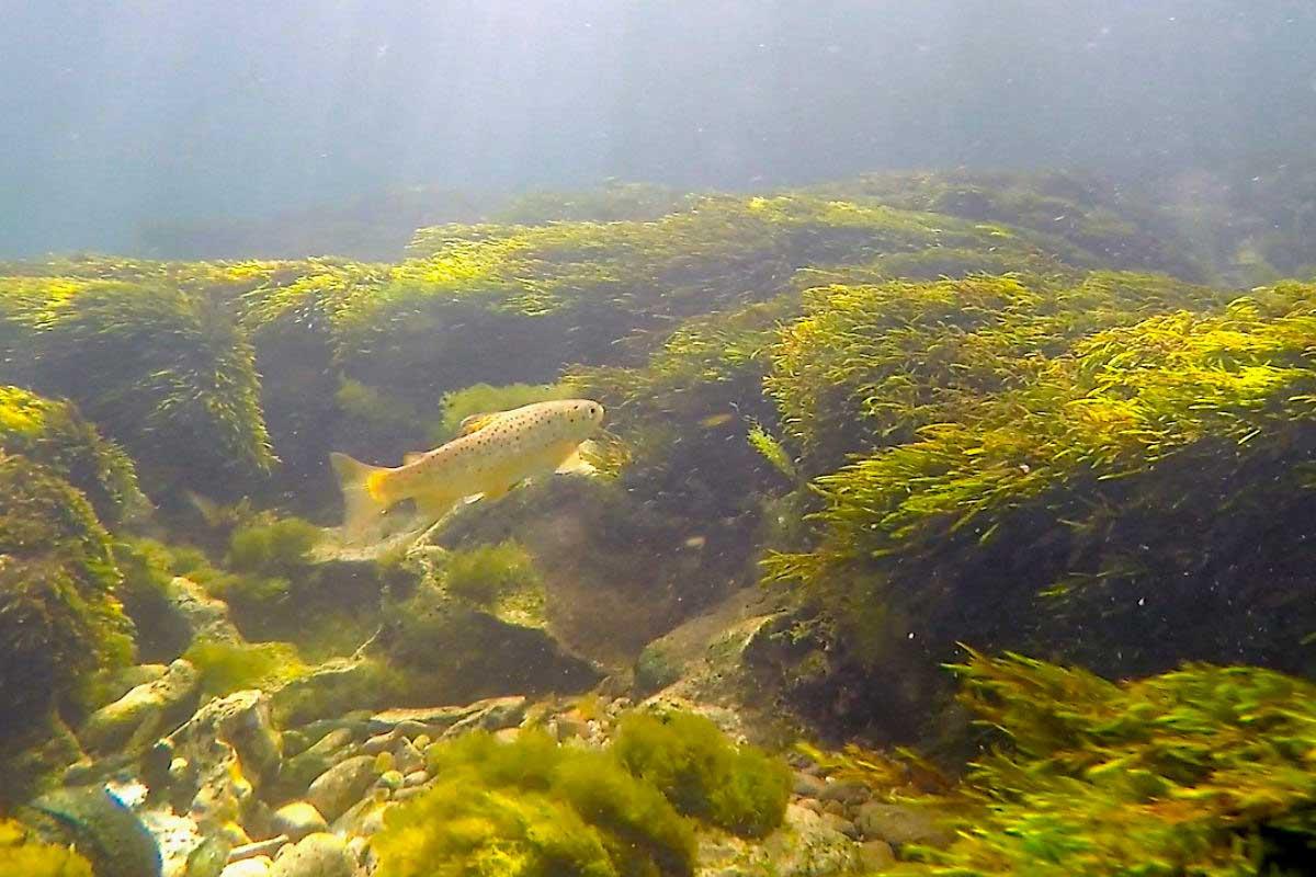 """Eine Bachforelle. Dass sich Fische in einem Gewässer natürlich vermehren ist der Idealfall, auch für den Bewirtschafter. Denn die Fische sind """"von Ei auf"""" an den Lebensraum angepasst."""