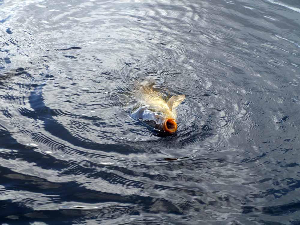 Erst zehn Minuten später gibt sich der Fisch geschlagen und taucht an der Oberfläche aus. Schnell wird er von den sicheren Maschen umfangen.