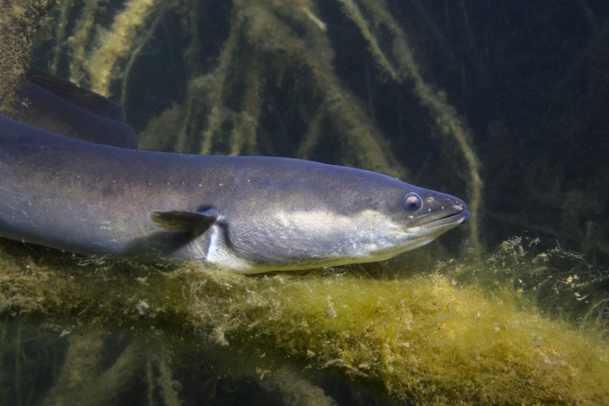 Es gibt wieder mehr Aale im Rhein, wie eine Auszählung von Biologen ergeben hat.