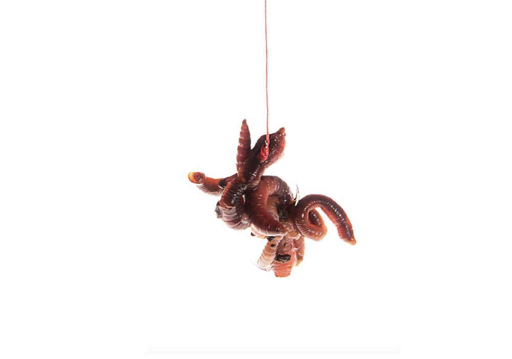 Wer möglichst viel Geruch ins Wasser bringen will, setzt ein Wurmschaschlik ein. Dazu wird ein Wurm in möglichst kleine, maximal zwei Zentimeter lange Stücke geschnitten. Diese werden dann wie Schaschlikstücke übereinander auf dem Haken angeködert. An den Schnittenden tritt viel Wurmsaft aus, der eine breite Duftspur im Wasser verbreitet. Eine ideale Möglichkeit, um die Fische schnell auf den Köder aufmerksam zu machen.