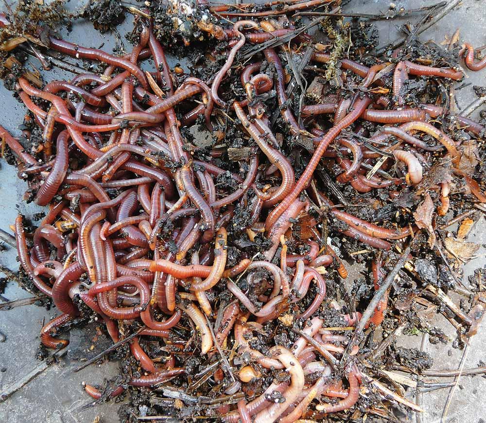Der Mistwurm lebt im Komposthaufen. Auch im Schweinemist ist dieser Wurm zu finden. Wenn man ihn am Haken anködert, sondert er eine stark riechende, gelbe Flüssigkeit ab. Und diese sorgt für die besondere Fängigkeit des Mistwurms. Vor allem im Winter und Frühjahr gehören Mistwürmer so zu den besten Ködern überhaupt. Kleine Mistwürmer eignen sich auch optimal zur Imitation von Zuckmückenlarven.