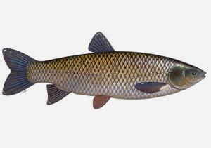 Graskarpfen können bis zu 1,30 Meter lang werden und sind im Sommer sehr aktive Fische.