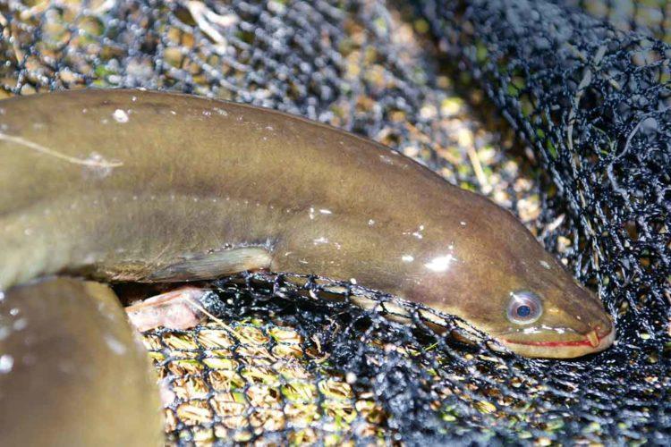 Für Niedersachsen gilt weiterhin keine Verzehrempfehlung von Aal und Brassen.