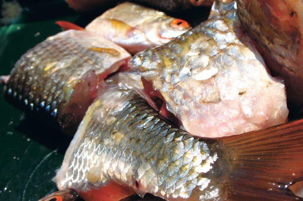 Anfüttern beim Zanderngeln mit Fischfetzen