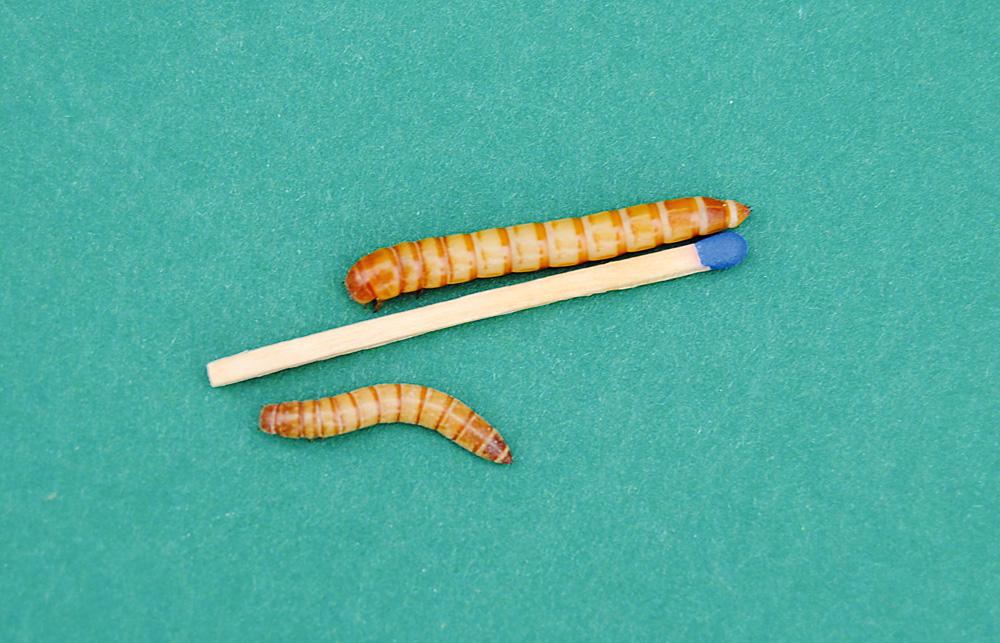 Im Angelgeräte-Fachhandel sind Mehlwürmer in zwei Größen erhältlich, in Zoogeschäften häufig nur die kleineren.