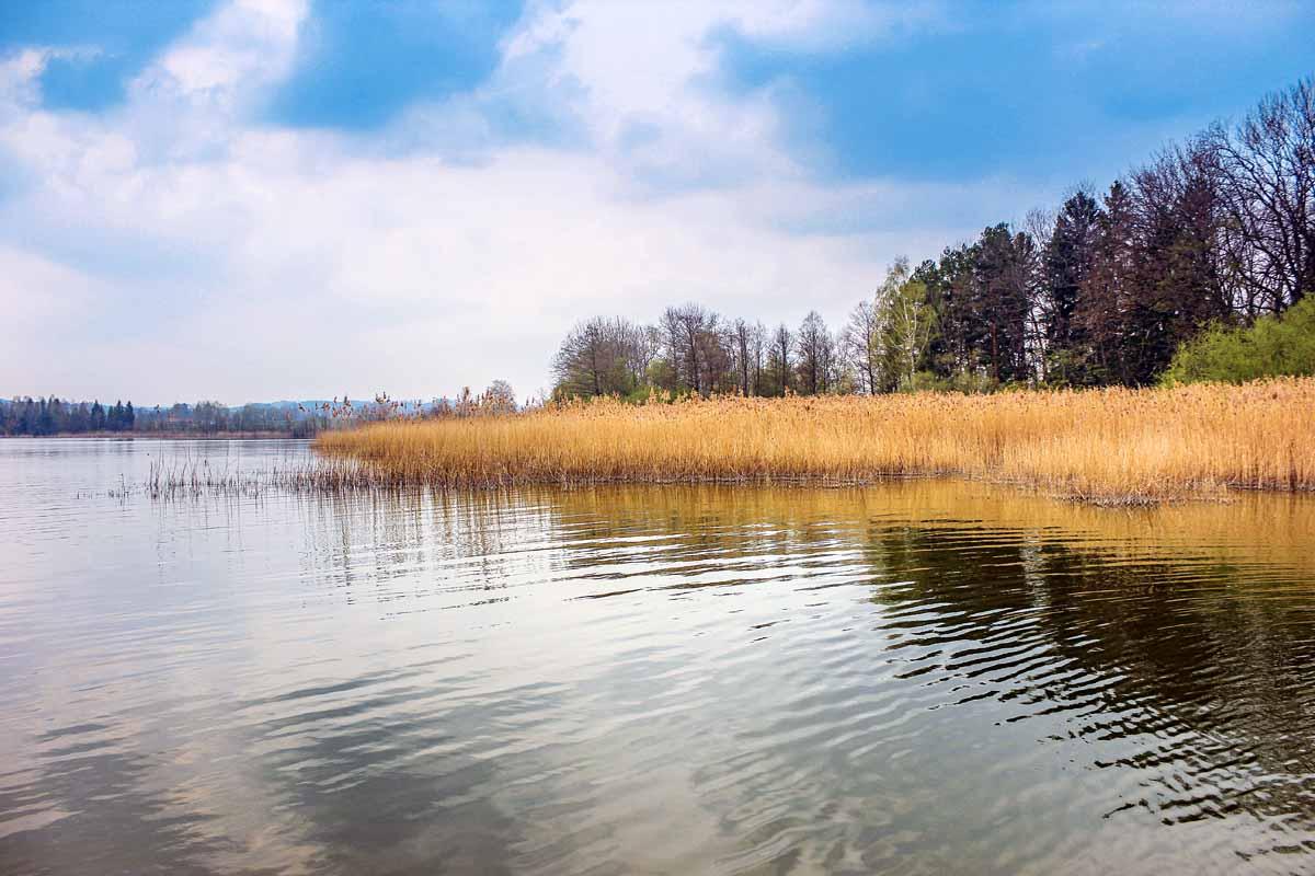 Weite Teile des Waginger Sees sind mit einem Schilfgürtel bewachsen. Vor diesen Bewuchs stehen häufig kleinere Hechte.