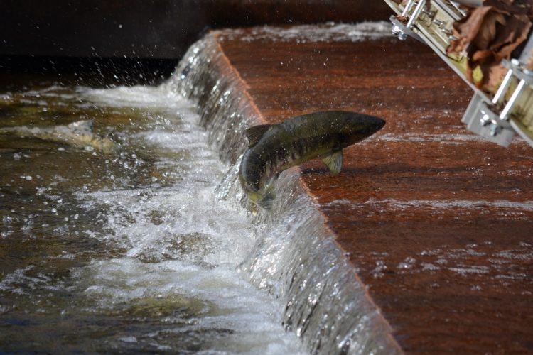 Um Lachsen und Meerforellen den Auf- und Abstieg zum bzw. vom Laichen zu ermöglichen, muss der Fluss durchlässig für diese Wanderfischarten und frei von Verbauungen und Kraftwerken sein