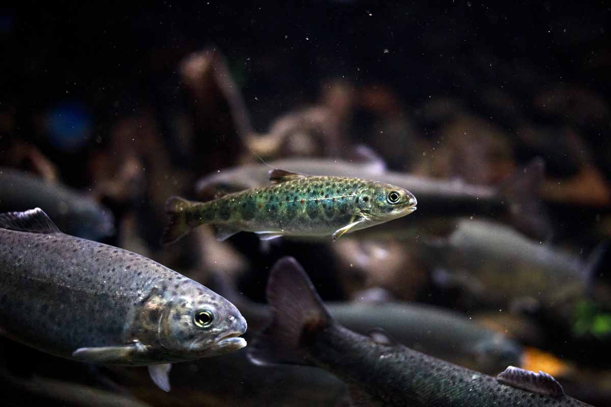 Damit Junglachse von der Forellenregion ins Meer abwandern können, brauchen sie durchgängige Gewässer. Foto: Wikipedia