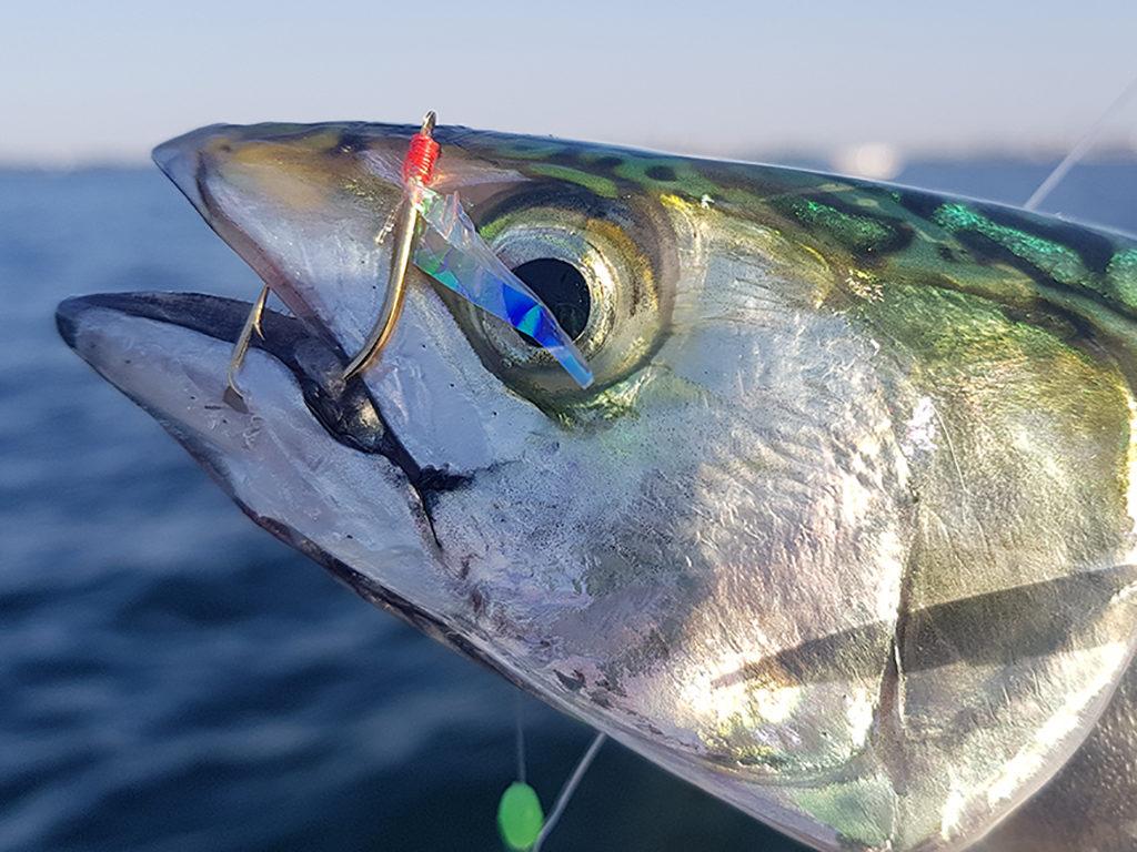 Markelen gehören hier zu den Top-Zielfischen. Beliebte Spots sind die Molen und der Hafen von Hvide Sande. Foto: BLINKER