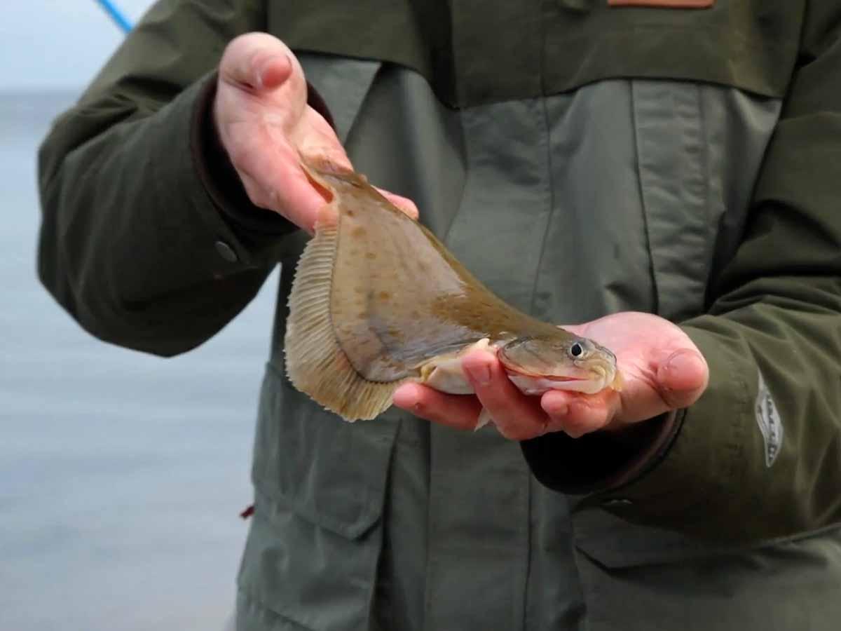 Die Hauptbeute beim Brandungsangeln sind Plattfische. Meistens beißen Flundern, immer wieder sind aber auch Klieschen dabei. Foto: Blinker