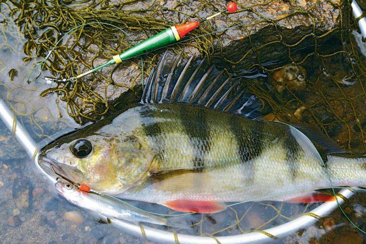 Da in niedersächsischen Flüssen viele Fische stark mit PFOS belastet sind, wird jetzt von häufigem Verzehr der Fische abgeraten.