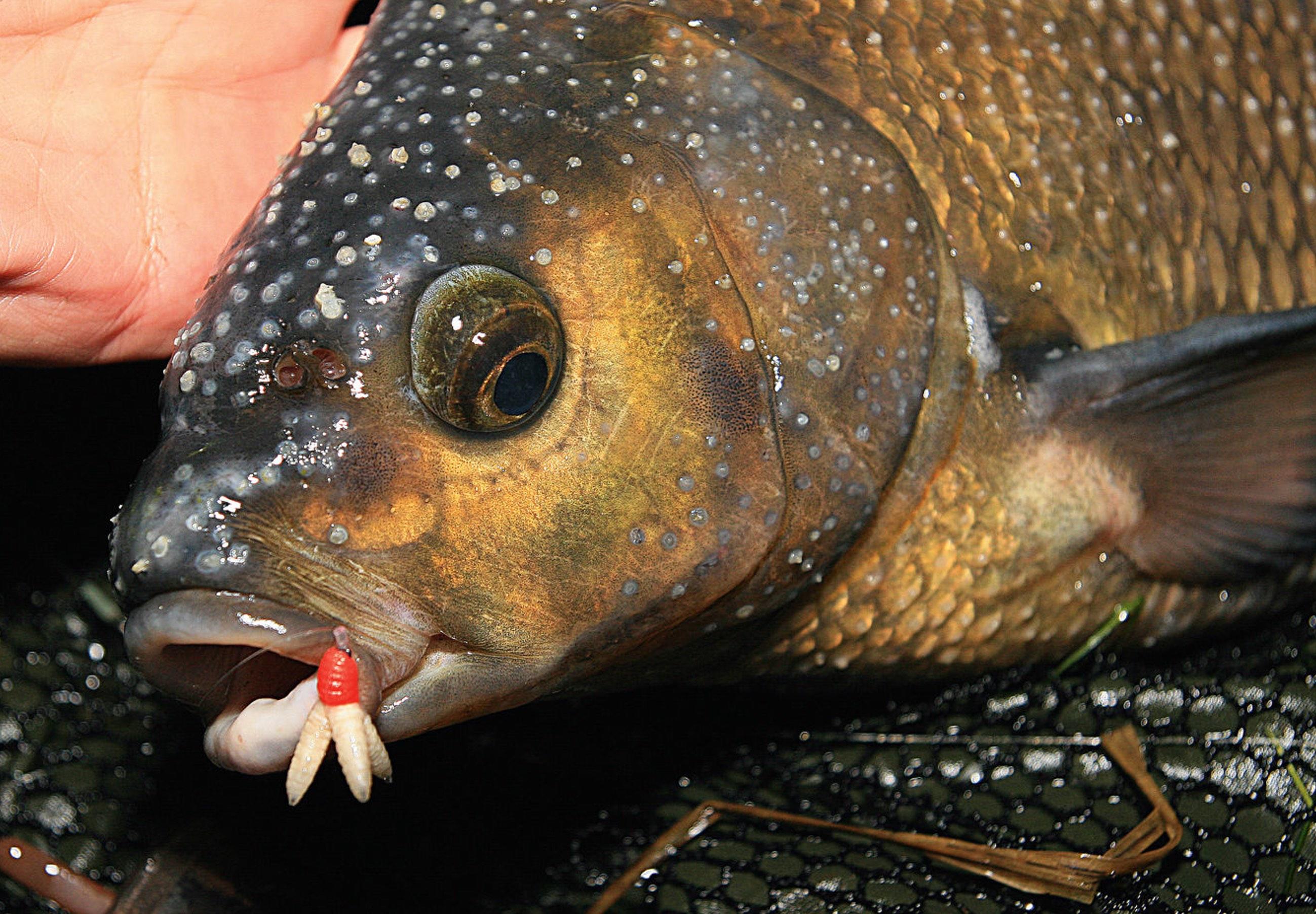 Dieser Brassen weist einen Laichausschlag auf, was an den bläschenförmigen Hautausstülpungen am Kopf des Fisches zu erkennen ist.