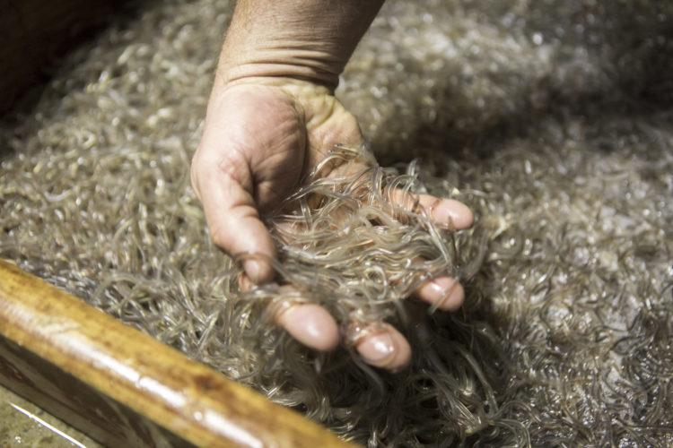 Die starke Überfischung von Glasaalen hatte in der Vergangenheit einen massiven Bestandsrückgang zur Folge. Trotzdem scheint dieses Jahr ein so hohes Glasaal-Aufkommen vorhanden zu sein wie schon lange nicht mehr.