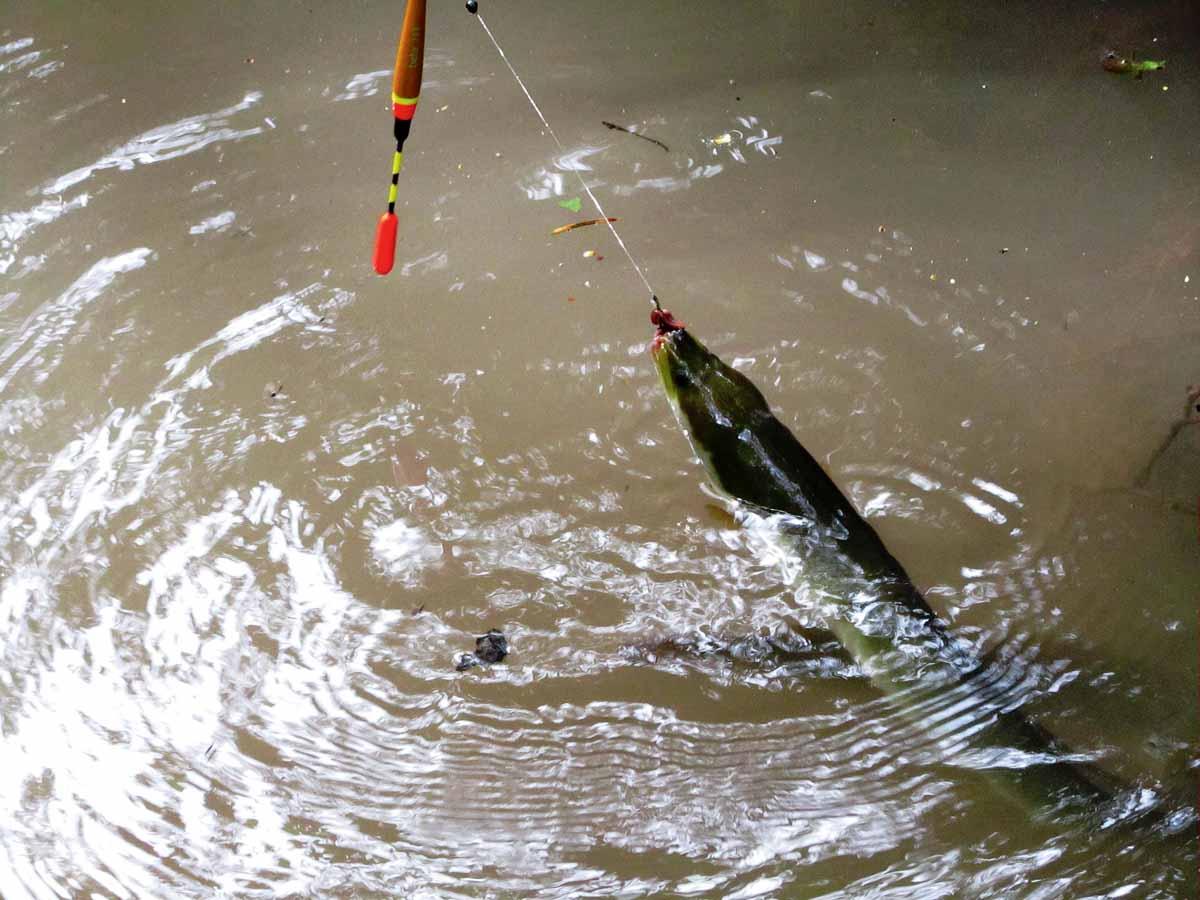 An Hindernissen ist das Posenangeln die beste Methode zum Aalangeln. Der Köder kann so genau über dem Hindernis präsentiert werden – ganz ohne Hänger. Foto: Türk